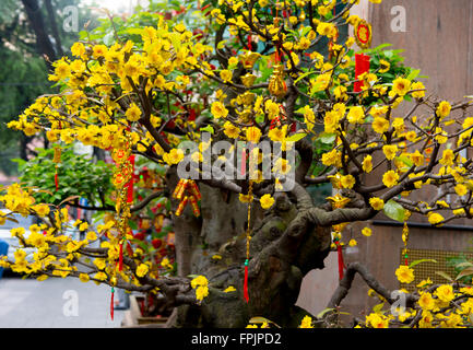HO CHI MINH, VIETNAM - JANUARY 27,2016: PA flowering tree for Tet, the Vietnamese New Year which takes place on - Stock Photo