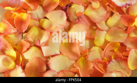 Texture of petals of red and yellow roses - Stock Photo