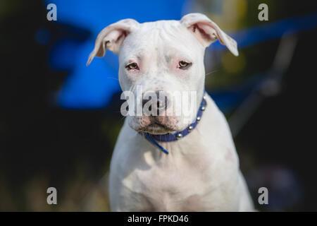 White American staffordshire terrier puppy Portrait - Stock Photo