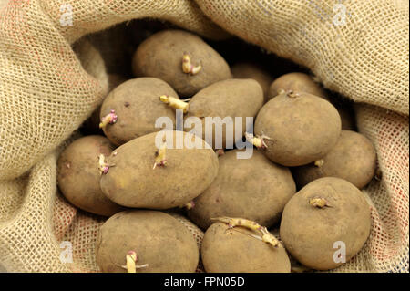 Seed potatoes in a hessian sack ready for spring planting, maincrop white variety 'Picasso'. - Stock Photo