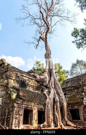Huge Chambak or Silk Cotton, tree, Irvingia malayana, growing over the 12th Century  Ta Prohm Temple, Cambodia - Stock Photo