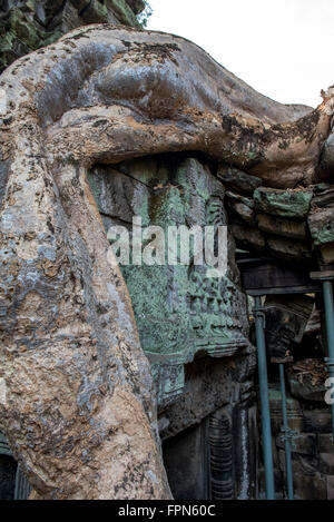 Detail of a  huge Chambak or Silk Cotton tree, Irvingia malayana, growing over the 12th Century  Ta Prohm Temple, - Stock Photo