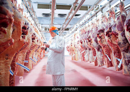 An employee checks the temperature of the carcasses of freshly slaughtered cows hanging awaiting processing in the - Stock Photo