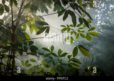 Late afternoon sun through the mist in a rainforest, Sabah, Borneo - Stock Photo