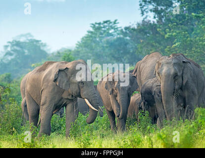 Indian Elephant in reserve forest of West Bengal, India - Stock Photo