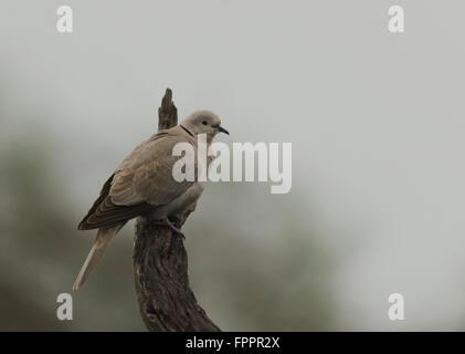 Eurasian Collared dove in fog - Stock Photo