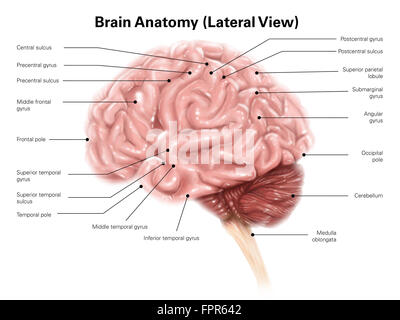 Lateral view of human brain diagram auto wiring diagram today diagram of the lateral view of the human brain showing the stock rh alamy com diagram ccuart Choice Image