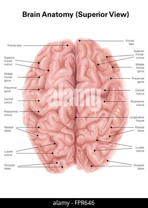 Human brain anatomy, superior view. - Stock Photo