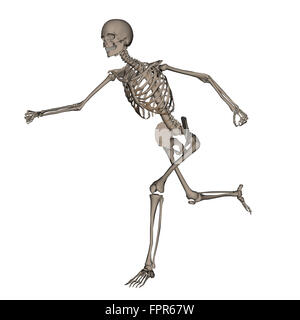 Front view of human skeleton running, isolated on white background.