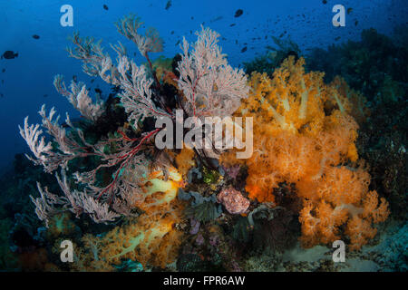 Beautiful soft coral colonies and gorgonians grow on a healthy coral reef in Komodo National Park, Indonesia. This - Stock Photo