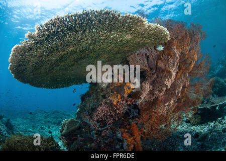 A beautiful coral reef thrives in Komodo National Park, Indonesia. This tropical area in the western Pacific harbors - Stock Photo