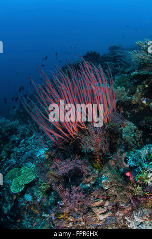 A colony of sea whips grows on a beautiful coral reef in Komodo National Park, Indonesia. This tropical region in - Stock Photo