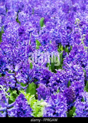 Hyacinths lilac field in spring - Stock Photo