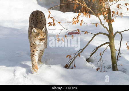 Eurasian lynx (Lynx lynx) walking in the snow, in bavarian forest Germany - Stock Photo