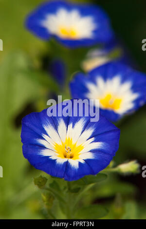Morning glory flowers blooming in summer garden - Stock Photo