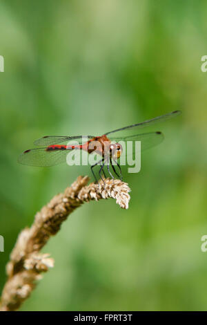 Meadowhawk dragonfly on dried grass. Stock Photo
