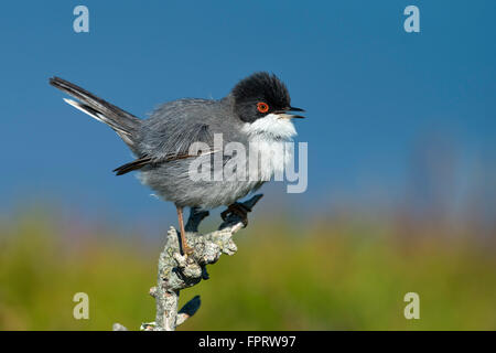 Sardinian Warbler (Sylvia melanocephala), male, Sardinia, Italy - Stock Photo