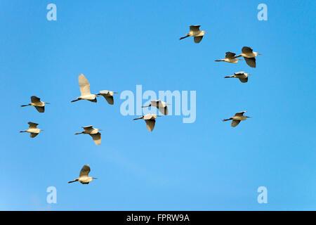 Little Egret (Egretta garzetta), flock of birds in flight, Riu Mannu, Sardinia, Italy - Stock Photo