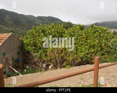 Oranges on their tree, vibrant green and yellow colours, in a garden in Las Portelas,Tenerife Canary Islands Spain - Stock Photo