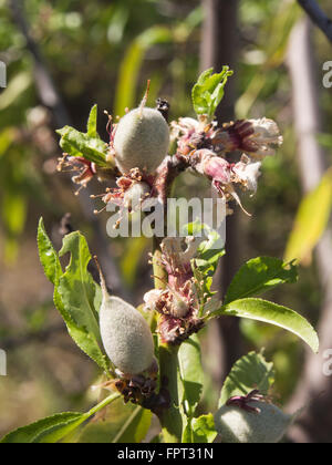 Almond fruit, new growth in downy hull on branches with rests of flowers, Santiago del Teide Tenerife Spain - Stock Photo