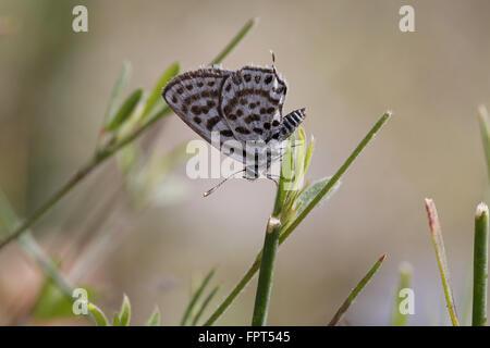 Little Tiger Blue Butterfly, Tarucus balkanicus - Stock Photo