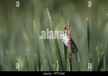 Great Reed Warbler, Acrocephalus arundinaceus, singing from reed bed - Stock Photo