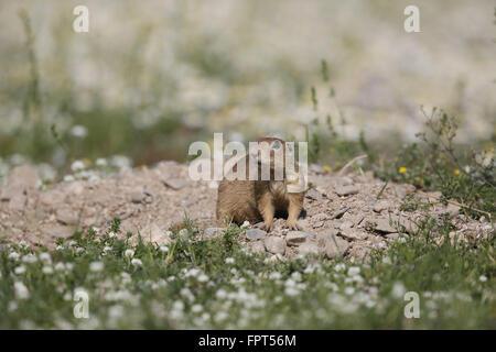 Suslik, Spermophilus citellus, at burrow