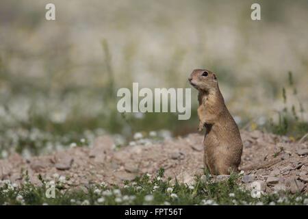 Suslik, Spermophilus citellus, at burrow - Stock Photo
