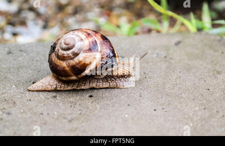 Big snail crawling on a stony surface - Stock Photo