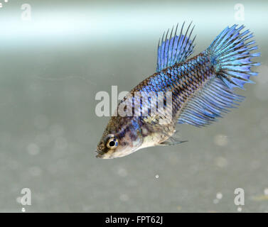 Crowntail Female Betta Splendens Siamese Fighter Fish - Stock Photo