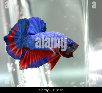 Half Moon Plakat Male Betta Splendens Siamese Fighter Fish - Stock Photo