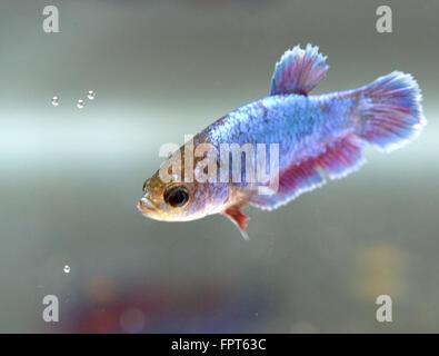 Half Moon Female Betta Splendens Siamese Fighter Fish - Stock Photo
