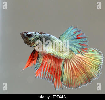 Young Half Moon Male Betta Splendens Siamese Fighter Fish - Stock Photo