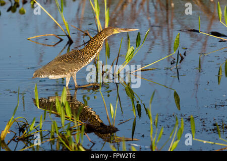 Rufescent Tiger Heron (Tigrisoma Lineatum) walking in water, Porto Jofre, Northern Pantanal, Brazil - Stock Photo