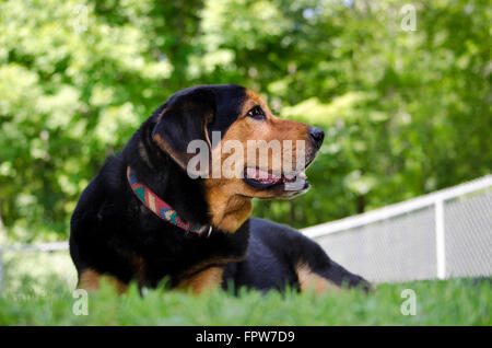 Black Lab mixed breed dog lying down on grass - Stock Photo