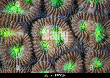 Coral polyps grow on a reef in Indonesia. This tropical region, within the Coral Triangle, is home to an incredible - Stock Photo