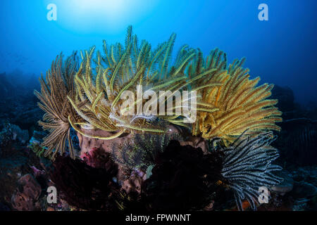 Colorful crinoids aggregate on a healthy coral reef in Komodo National Park, Indonesia. This tropical region in - Stock Photo