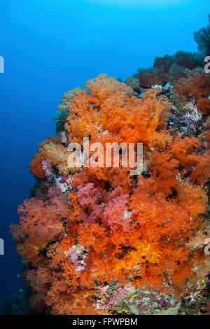 Gorgeous soft corals and other colorful invertebrates compete for space to grow on a reef near the island of Sulawesi, - Stock Photo