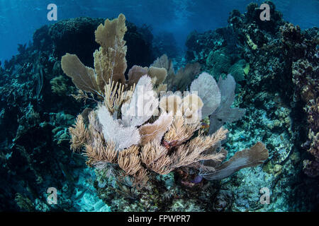 A colorful set of gorgonians, reef-building corals, and other invertebrates grow on a diverse reef in the Caribbean - Stock Photo