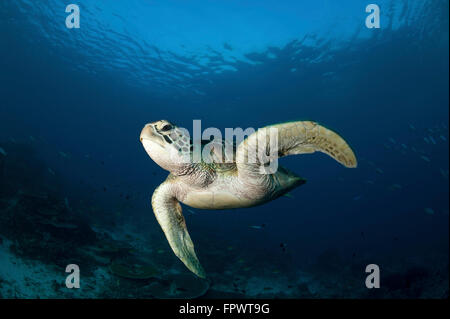 A green turtle (Chelonia mydas) swimming in Komodo National Park, Indonesia. - Stock Photo