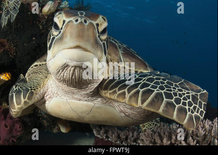 Close-up view of a green turtle (Chelonia mydas) resting on a reef top in Komodo National Park, Indonesia. - Stock Photo