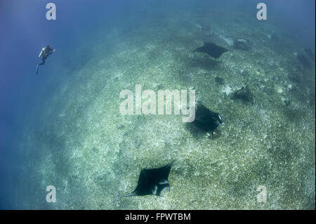 A trio of reef manta rays (Manta alfredi) swimming above a reef top, Komodo National Park, Indonesia. - Stock Photo
