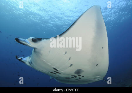 A reef manta ray (Manta alfredi) swimming above a reef top in Komodo National Park, Indonesia. - Stock Photo