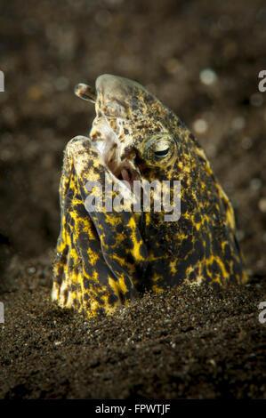 Marbled snake eel (Callechelys marmorata) emerging from black volcanic sand, Komodo National Park, Indonesia. - Stock Photo