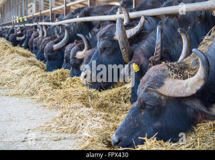 Buffalo eating in an italian farm for production of mozzarella - Stock Photo
