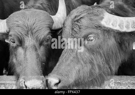 Two Buffalo in an italian farm for production of mozzarella - Stock Photo