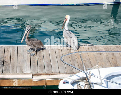 Pelicans in Cabo San Lucas, Mexico - Stock Photo