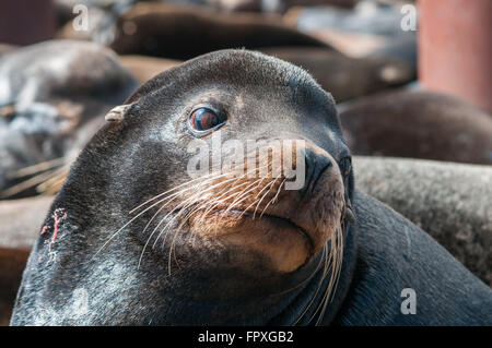 A closeup of a female California Sea Lion (Zalophus californianus) among a colony on a dock. Colombia River, Rainier, - Stock Photo