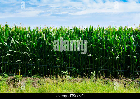 Young green corn stalks reach for the skies in Sunny Australia below a blue sky and white clouds - Stock Photo