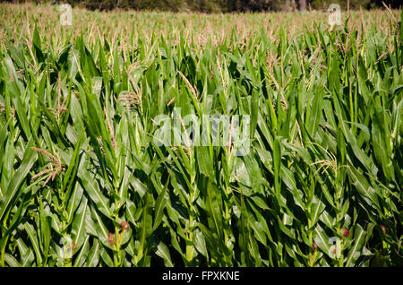 Young green corn stalks reach for the skies in Sunny Australia - Stock Photo